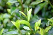 茶多酚有什么作用