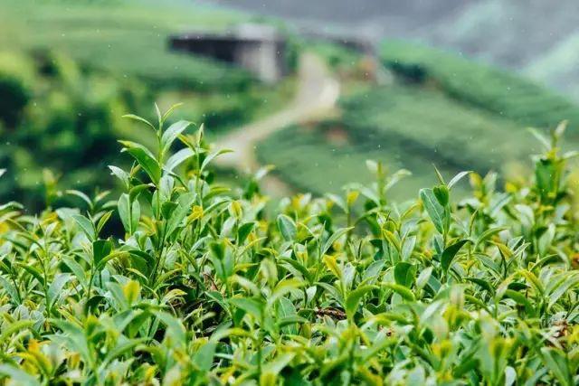 阿里山乌龙茶